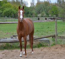 Pferd auf Sandpaddock 216x196